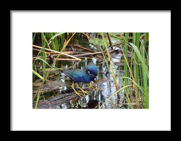 Purple Gallinule Framed Print featuring the photograph A Warm Embrace by Kathy Gibbons