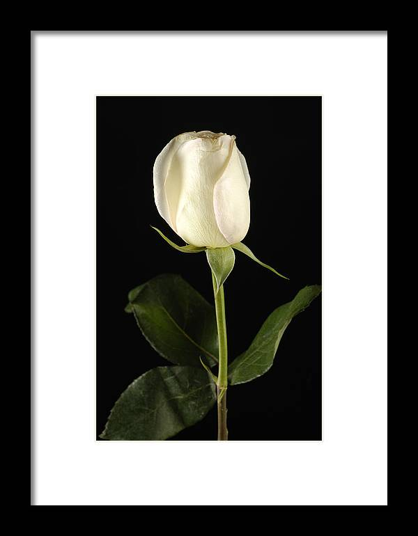 Photography Framed Print featuring the photograph A White Rose Rosaceae by Joel Sartore