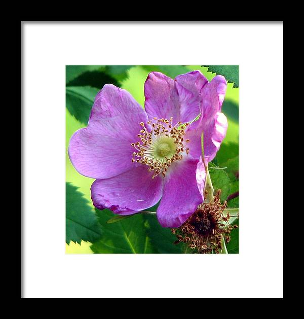 Wild Rose Framed Print featuring the photograph A Wild Rose by Chris Anderson