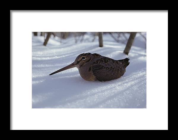 snow Framed Print featuring the photograph A Woodcock Sits In The Snow by Bill Curtsinger