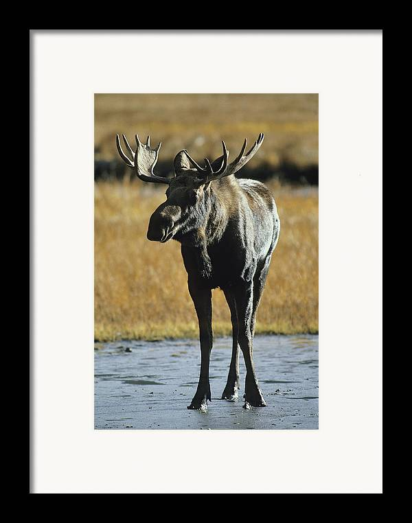 North America Framed Print featuring the photograph A Young Bull Moose by George F. Herben