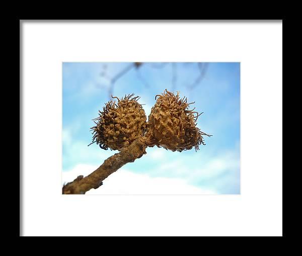 Acorn Framed Print featuring the photograph Acorns Have Left The Nest by Kent Lorentzen