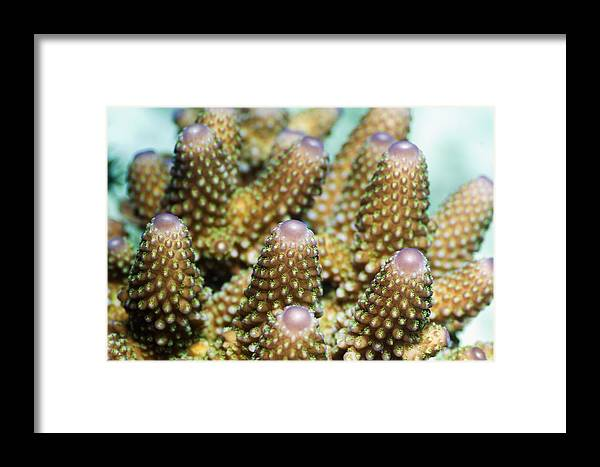 Acropora Humilis Framed Print featuring the photograph Acropora Plate Coral Polyps by Georgette Douwma