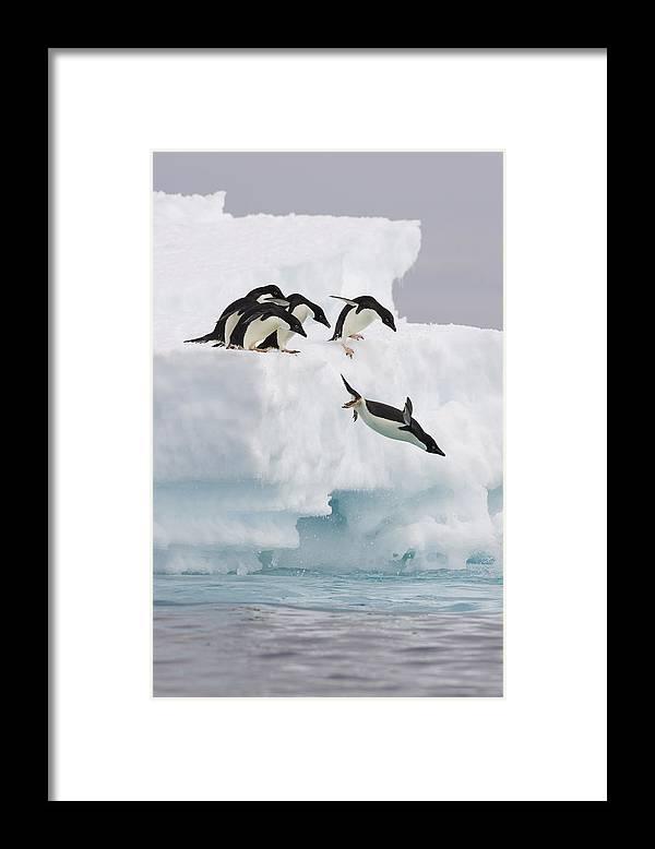00761831 Framed Print featuring the photograph Adelie Penguin Diving Antarctica by Suzi Eszterhas