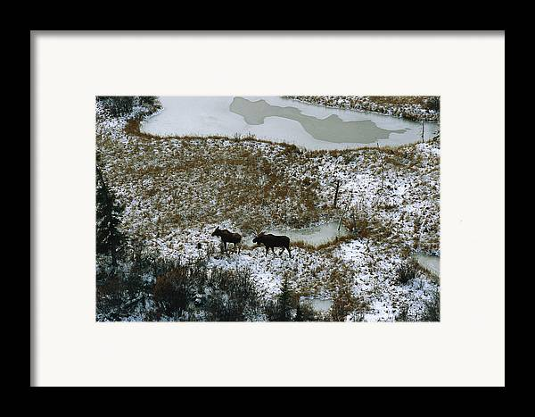 North America Framed Print featuring the photograph Aerial Of A Male And Female Moose by Norbert Rosing