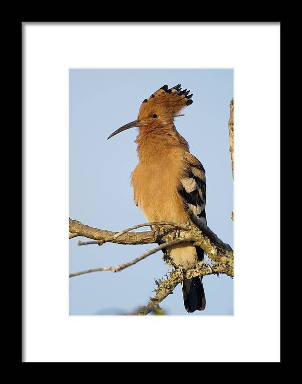 Hoopoe Framed Print featuring the photograph African Hoopoe by Peter Chadwick