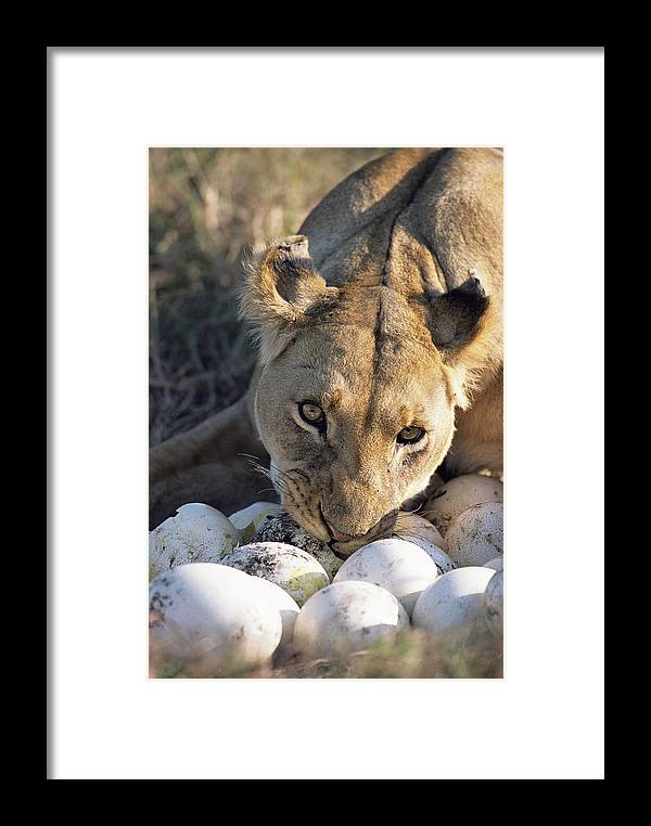 Npl Framed Print featuring the photograph African Lion Panthera Leo Raiding by Peter Blackwell