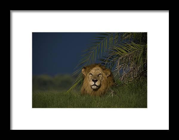 Duba Plains Framed Print featuring the photograph African Lion Resting Near A Palm by Beverly Joubert