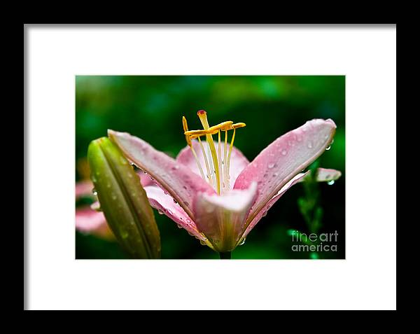Lily Flower Framed Print featuring the photograph After The Rain 3 by Terry Elniski