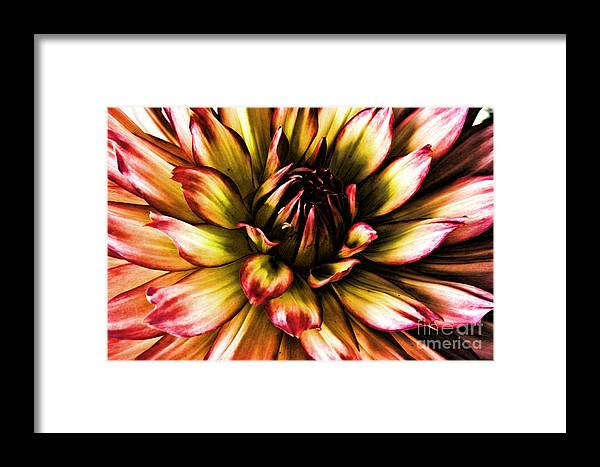 Flowers Framed Print featuring the photograph Aged Dahlia by Dawn Harris