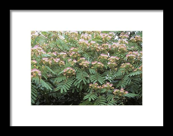 Persian Silk Tree Framed Print featuring the photograph Albizia Julibrissin 'ernest Wilson' by Adrian Thomas
