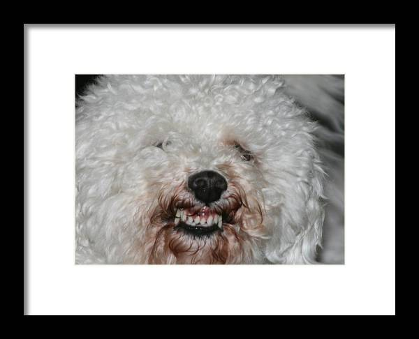 Bichon Framed Print featuring the photograph Alex Smiling by Mel White Photo