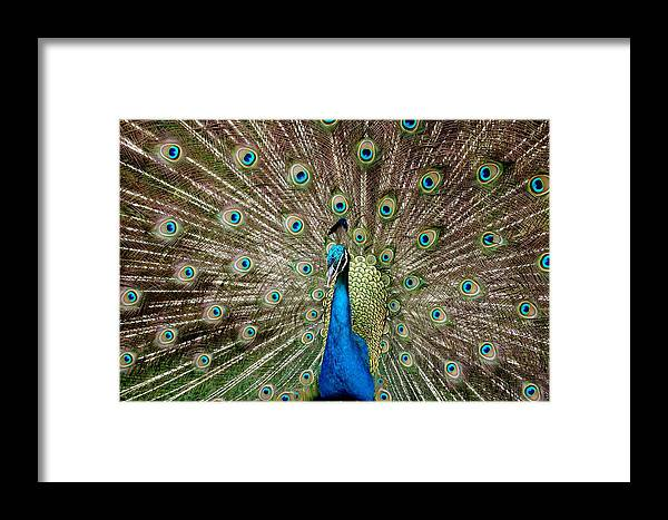 Peacock Framed Print featuring the photograph All Eyes On You by John Pierce Jr