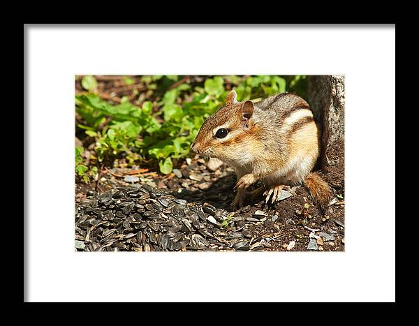 Chipmunk Framed Print featuring the photograph All For Me by Jeff Galbraith