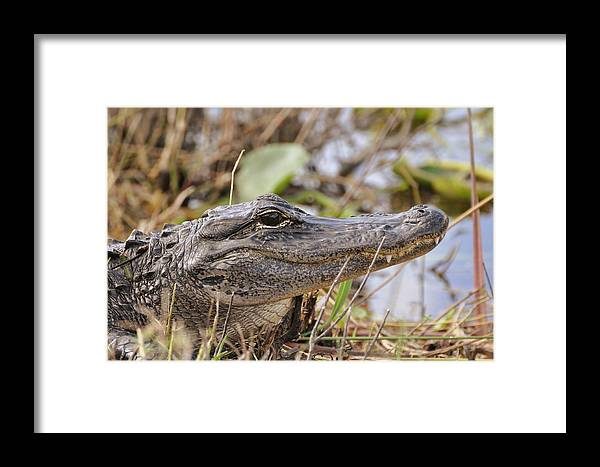 Alligator Framed Print featuring the photograph Alligator 1 by Helen Haw