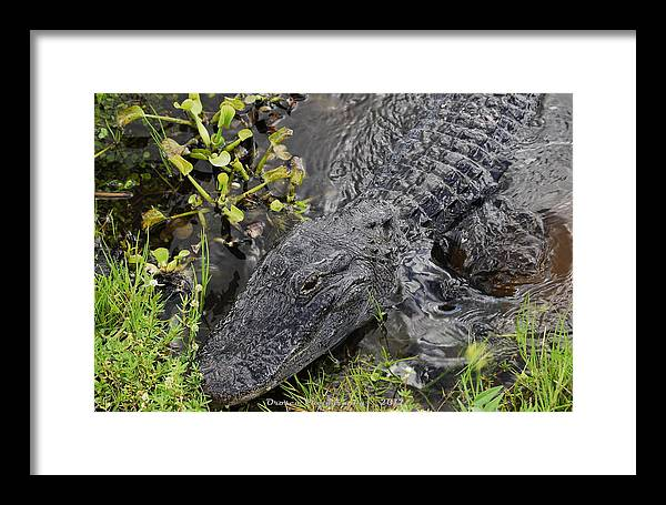 Reptile Framed Print featuring the photograph Alligator Alley Friend by G Adam Orosco