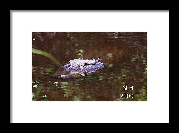 Lee Framed Print featuring the photograph Alligator by Lee Hartsell