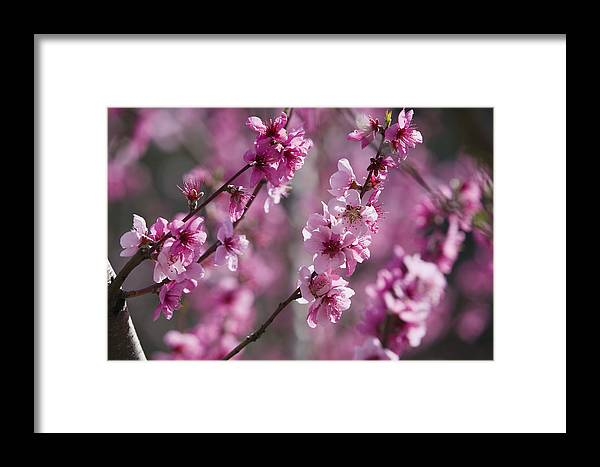 Mp Framed Print featuring the photograph Almond Prunus Dulcis Trees Blooming by Konrad Wothe