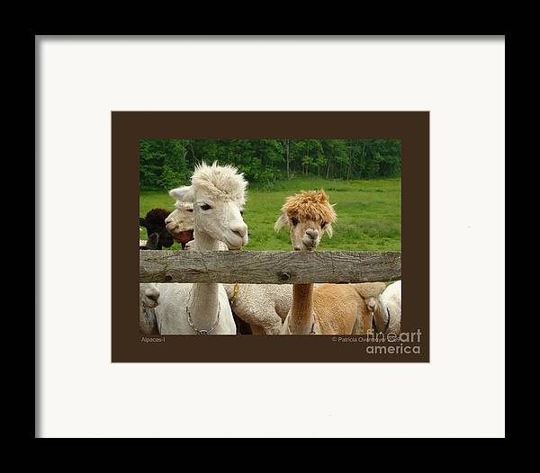 Animals Framed Print featuring the photograph Alpacas-i by Patricia Overmoyer