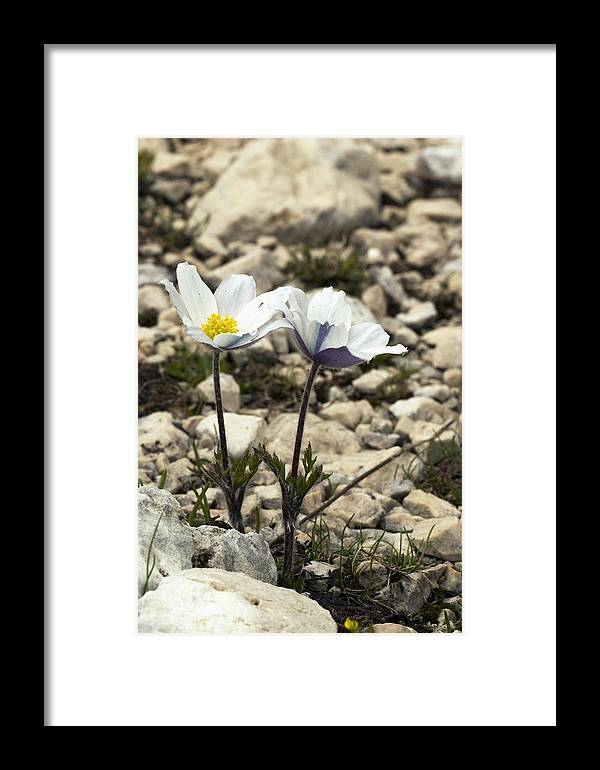 Mount Terminillo Framed Print featuring the photograph Alpine Pasque Flower (pulsatilla Alpina) by Paul Harcourt Davies