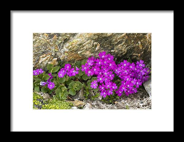 Alpine Primula Framed Print featuring the photograph Alpine Primula (primula Hirsuta) by Bob Gibbons