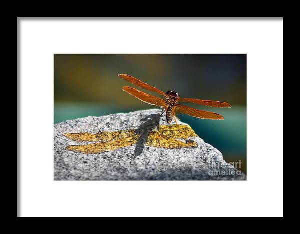 Dragonfly Framed Print featuring the photograph Amberwing Amber Shadow by Susan Isakson