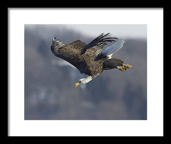 Framed Print featuring the photograph American Bald Eagle-2 by Ruhikanta Meetei