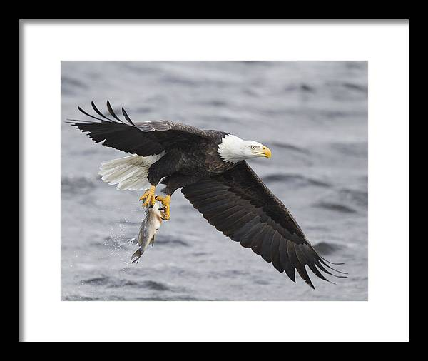 Framed Print featuring the photograph American Bald Eagle-5 by Ruhikanta Meetei