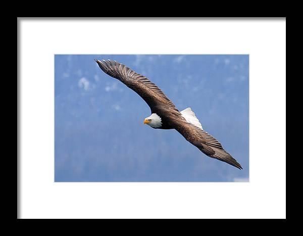 Alaska Framed Print featuring the photograph American Bald Eagle by Doug Lloyd