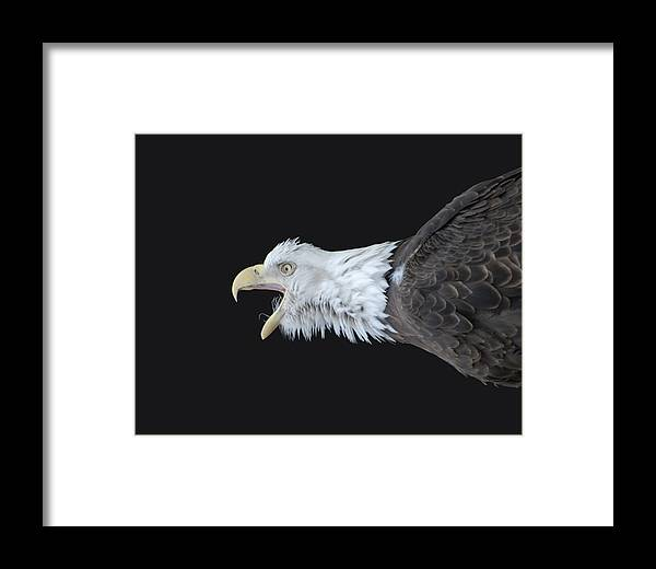 American Bald Eagle Framed Print featuring the photograph American Bald Eagle by Paul Ward
