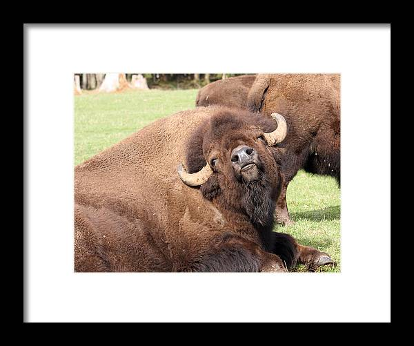 Northwest Trek Framed Print featuring the photograph American Bison - Buffalo - 0014 by S and S Photo