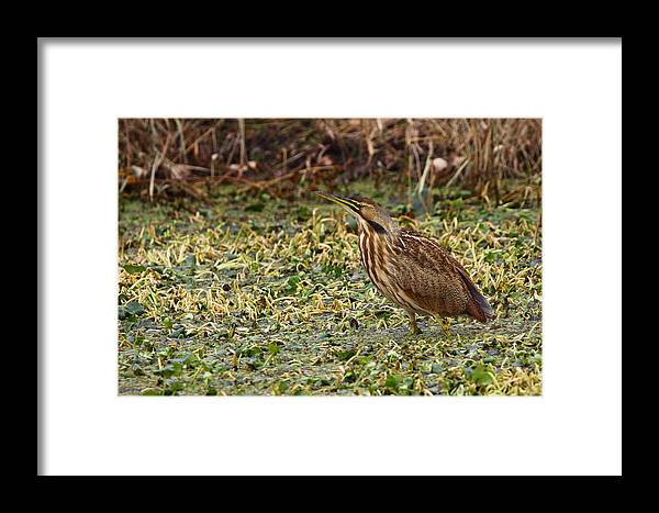 Bittern Framed Print featuring the photograph American Bittern by Bruce J Robinson