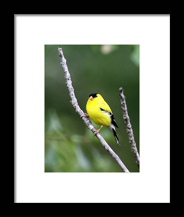 Goldfinch Framed Print featuring the photograph American Goldfinch - Single Male by Travis Truelove