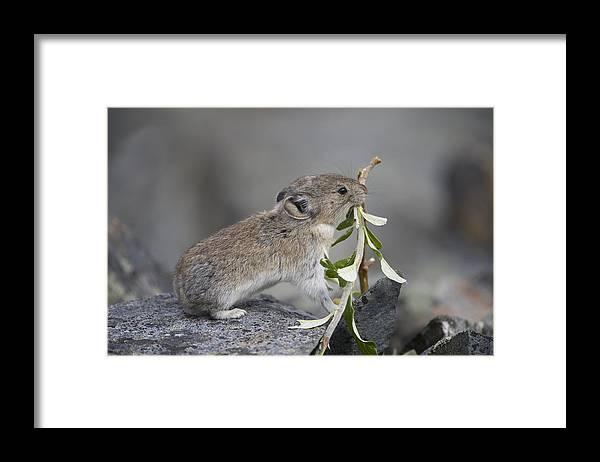 Mp Framed Print featuring the photograph American Pika by Michael Quinton