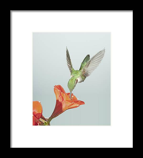 Avian Framed Print featuring the photograph Amyrillis And Broadtailed Hummingbird by Gregory Scott