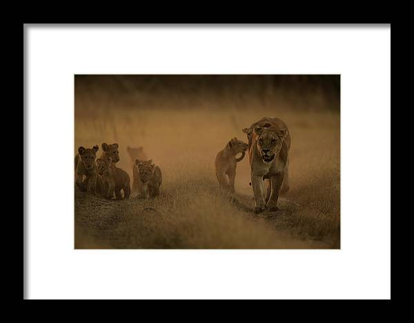 Okavango Delta Framed Print featuring the photograph An African Lioness And Cubs, Panthera by Beverly Joubert