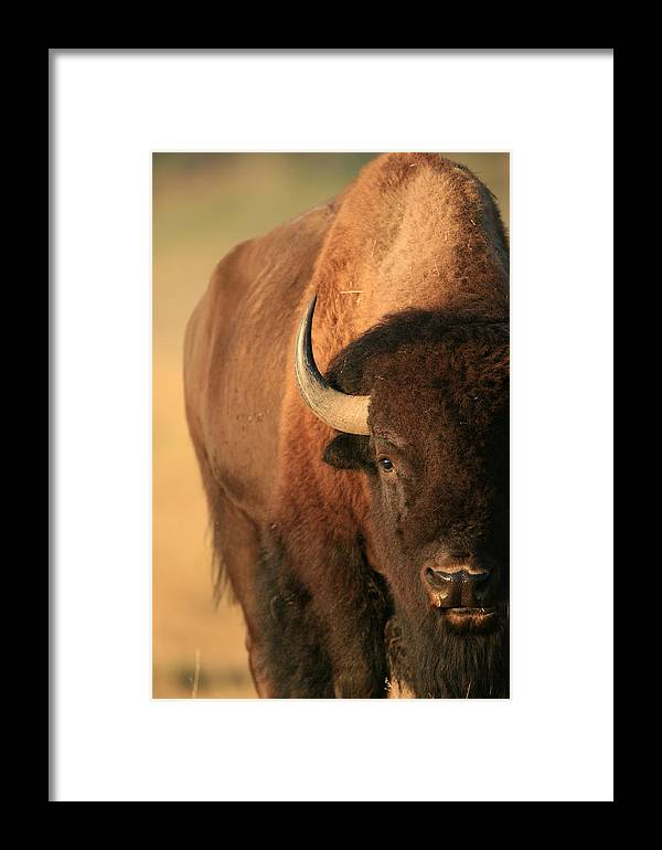 American Bison Framed Print featuring the photograph An American Bison In The Early Morning by Drew Rush