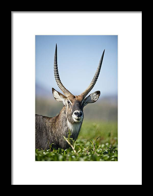 African Wildlife Framed Print featuring the photograph An Antelope Standing Amongst Tall by David DuChemin