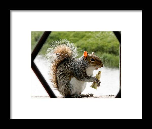 Squirrel Framed Print featuring the photograph An Apple A Day by Barry Hayton