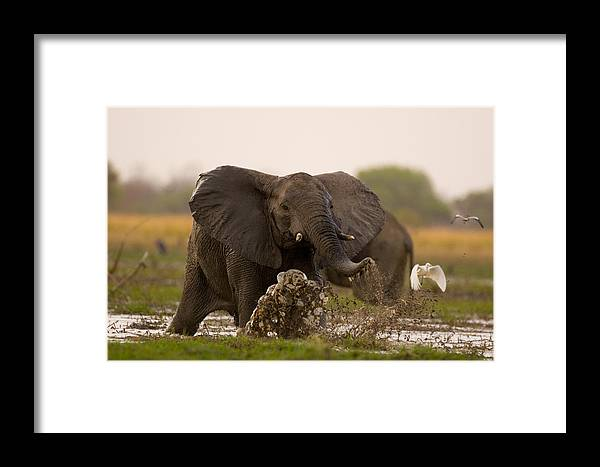 Outdoors Framed Print featuring the photograph An Elephant Charges When Startled by Michael Nichols
