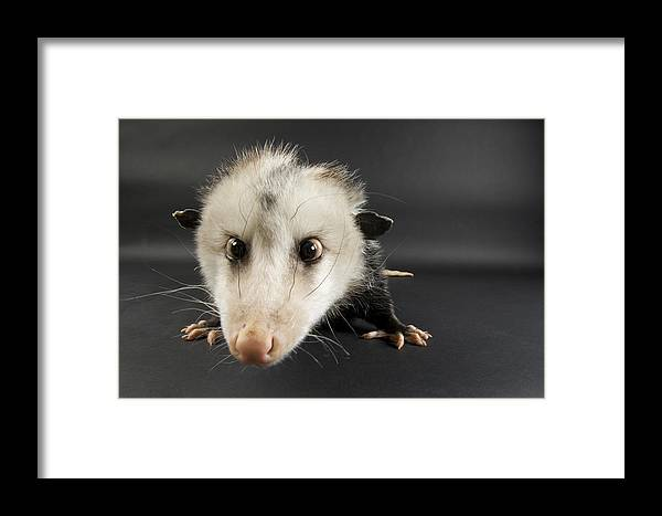Photography Framed Print featuring the photograph An Opposum Didelphis Virginiana by Joel Sartore