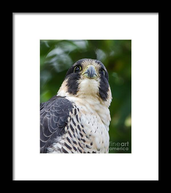 Peregrine Falcon Framed Print featuring the photograph Angel Eyes by Gary Davenport