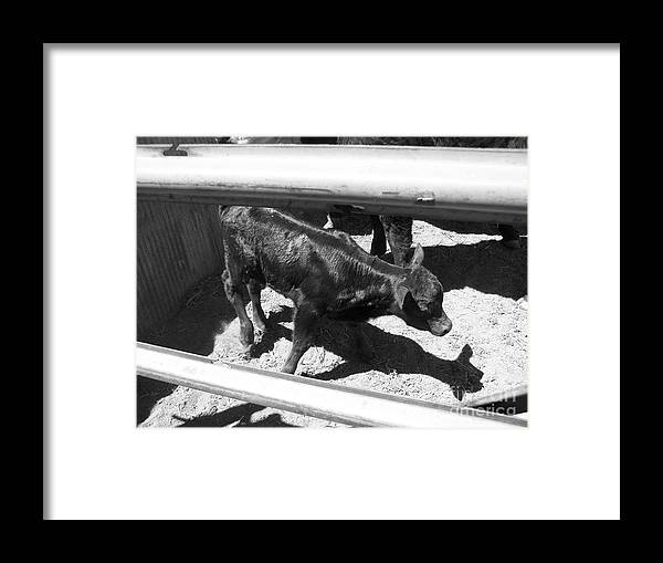 Angus Framed Print featuring the photograph Angus by Pamela Walrath