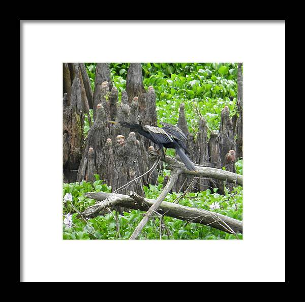 Anhinga Framed Print featuring the photograph Anhinga 1 by Larry Eddy