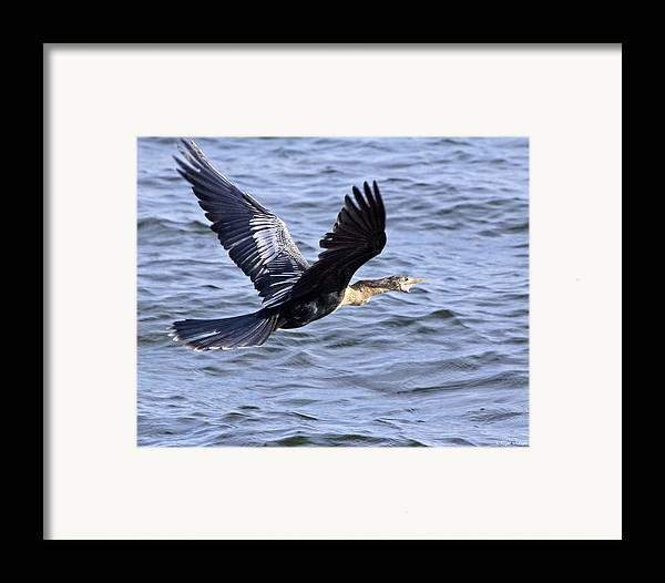 Anhinga Framed Print featuring the photograph Anhinga In Flight by Roger Wedegis