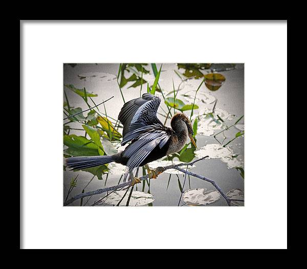 Anhinga Framed Print featuring the photograph Anhinga by Rudy Umans