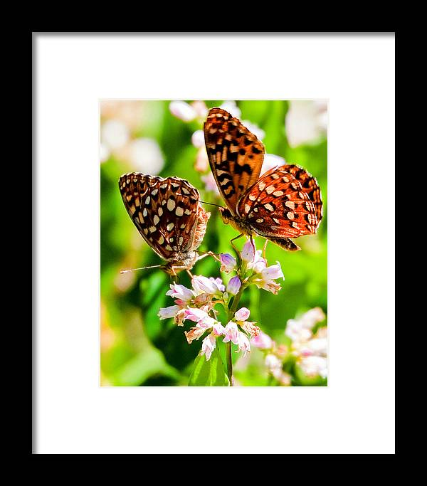 Apocynum Androsaemifolium Framed Print featuring the photograph Anica Checkerspot On Dogbane by Merle Ann Loman