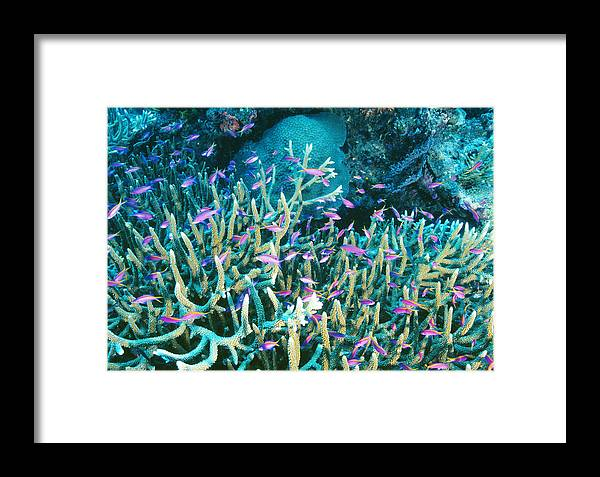 Anthias Framed Print featuring the photograph Anthias Fish In Coral by Matthew Oldfield