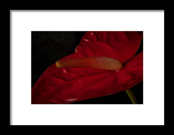 Close Up Framed Print featuring the photograph Anthurium by Brad Rickerby