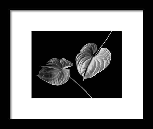 Anthurium Framed Print featuring the photograph Anthurium by John Wong